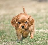 Angry Puppy. Adorable funny puppy with angry expression. Cavalier King Charles Spaniel Royalty Free Stock Photography