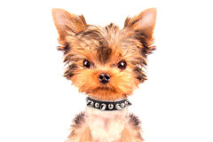 Angry puppy with collar Royalty Free Stock Photography