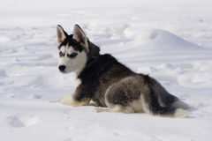 Angry puppy dog breed Siberian husky in the snow Royalty Free Stock Photos