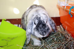 Angry Rabbit. An Angry Rabbit defending his hay Royalty Free Stock Photos