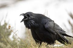 Angry raven screaming on Hayden Valley at Yellowstone National Park. Shot in September 2017 in Hayden Valley Stock Image