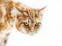 Angry red cat with green eyes Stock Photo