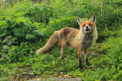 Angry red fox. In the grass Stock Image
