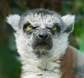 Angry Ring-Tailed Lemur Stock Photo