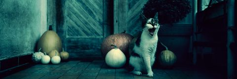 Angry roaring cat with amputated leg sitting by front door decorated with pumpkins for the Halloween season. Dark spooky Halloween mood banner stock photos