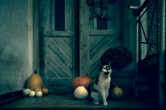 Angry roaring cat with amputated leg sitting by front door decorated with pumpkins for the Halloween season. Dark spooky Halloween. Mood background stock image