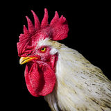 Angry Rooster Stock Photography