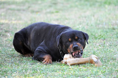 Angry rottweiler Royalty Free Stock Images