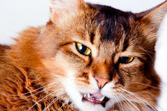 Angry Rudy somali cat portrait Stock Photo
