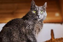 Angry and scared cat sitting on the shelf royalty free stock photo