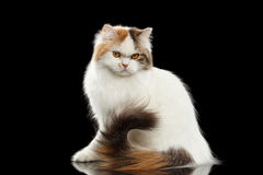 Angry Scottish Highland Straight Cat waving tail, Isolated Black Background Stock Image