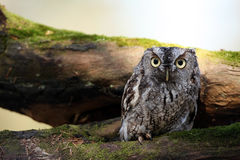 Angry Screech Owl Royalty Free Stock Photos