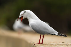 Angry sea gull in aggressive pose Royalty Free Stock Images