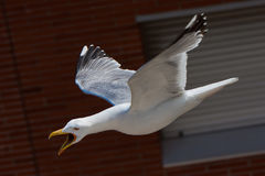 Angry Seagull Flying Royalty Free Stock Photos