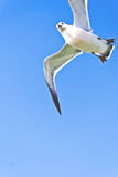 Angry seagull flying above Stock Photos