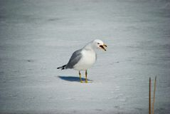 Angry seagull stock image