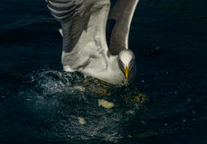 Angry Seagull Royalty Free Stock Image