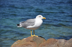 Angry Seagull on the Rocks Royalty Free Stock Image
