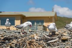 Angry Seagull Royalty Free Stock Photo