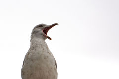 Angry seagull yelling at the world Royalty Free Stock Image