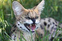 Angry Serval Wild Cat. Snarling Serval wild cat with large teeth and pink tongue royalty free stock photos