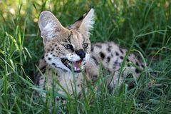Angry Serval Wild Cat Royalty Free Stock Photo