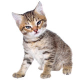 Angry shorthair brindled kitten Royalty Free Stock Photography