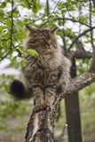 Angry Siberian cat. Cat on apple tree. Close up. Brown cat. Royalty Free Stock Photo