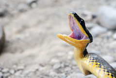 Angry snake in Costa Rica stock photography