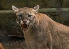 An angry snarling puma cougar is looking at me royalty free stock photos
