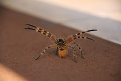Angry Spider Royalty Free Stock Photography
