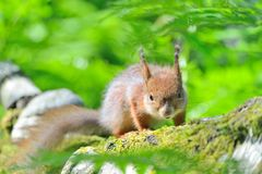 Angry squirrel stock images