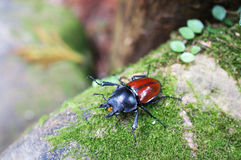 Angry Stag-beetle Royalty Free Stock Images