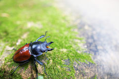 Angry Stag-beetle Royalty Free Stock Image