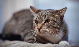 Angry striped cat Royalty Free Stock Photos