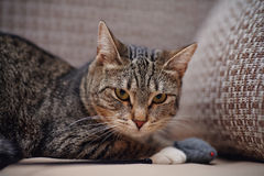 Angry striped cat with a toy Stock Photos