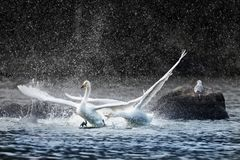Angry swan chasing another and splashing water stock photography