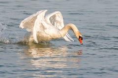 Angry swan Stock Image