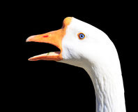 Angry swan Royalty Free Stock Photography