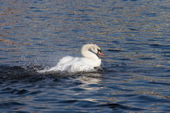 Angry swan on the water Royalty Free Stock Photo
