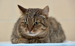 Angry tabby cat lying Royalty Free Stock Image