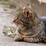 Angry tabby cat profile Royalty Free Stock Photography