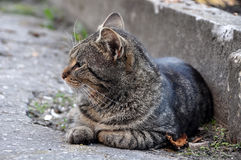 Angry tabby cat profile Royalty Free Stock Photos