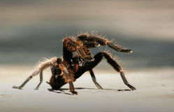 Angry Tarantula Royalty Free Stock Photo
