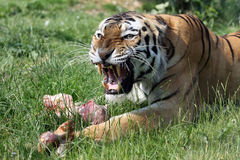 Angry tiger. Angry male siberian tiger growling to protect his prey he just caught Stock Photo