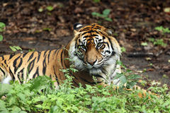 Angry Tiger Stock Images
