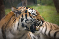 Angry tiger Royalty Free Stock Photos