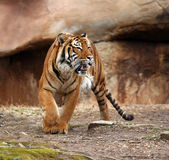 Angry Tiger. Bengal tiger angry and growling Stock Photo