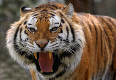 Angry tiger Royalty Free Stock Photo