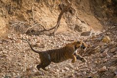 Angry tiger charging over safari vehicles and tourists. On an evening drive to the ranthambore tiger reserve sighted this indian fox pup or Vulpes bengalensis stock photography